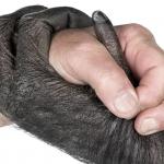 Scimpanzè: Eravamo come Loro?
