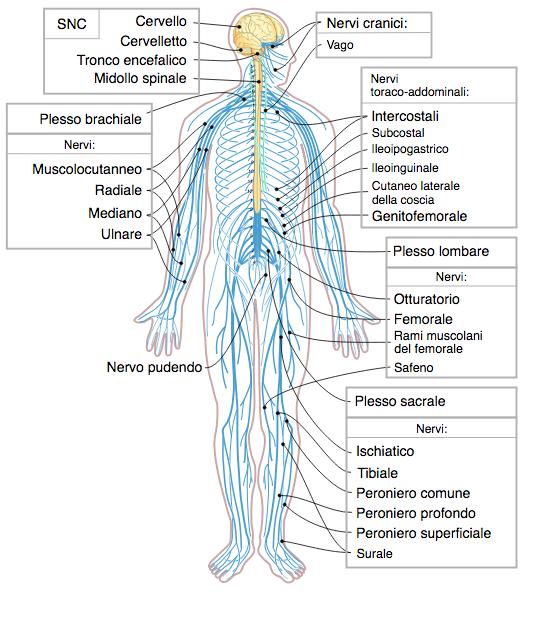 Artrosi. Il Sistema Nervoso Umano se Alterato può Causare la Malattia